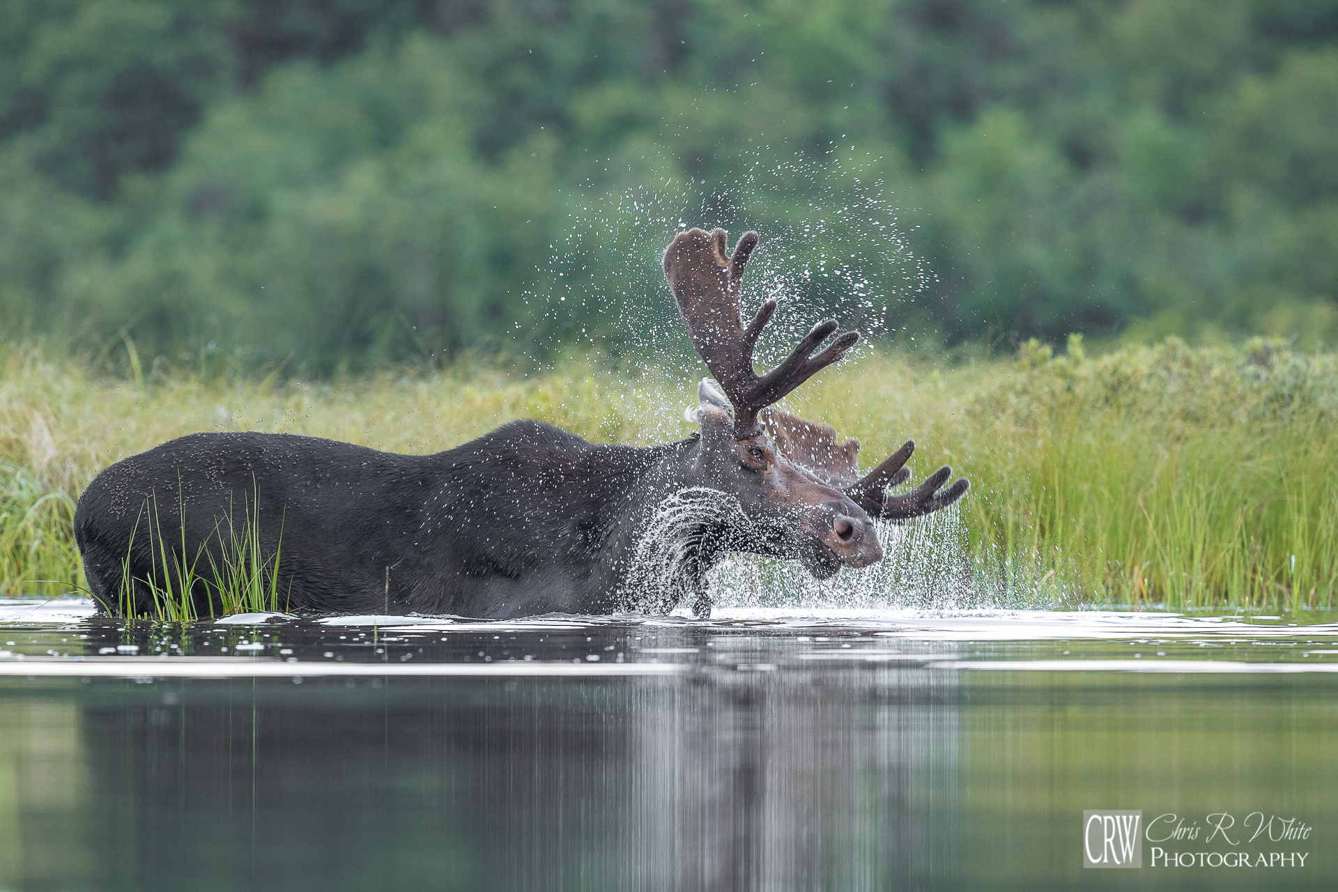 Water sprays from his massive head and antlers as this bull shakes.