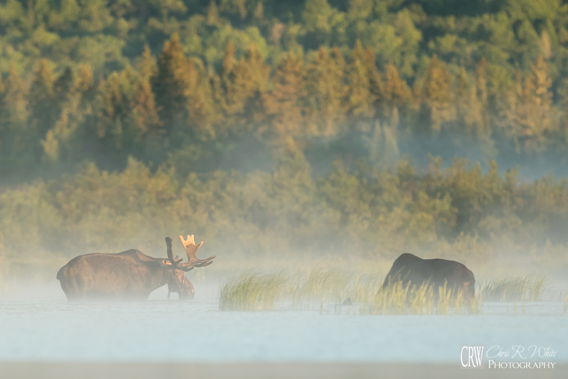 Two magnificent bulls feeding on a North Maine Woods misty morning.
