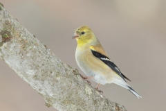 Gold Finches arrive in large numbers as spring approaches.