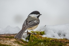 Black-capped Chickadees seem to rule every corner of the sugarbush.