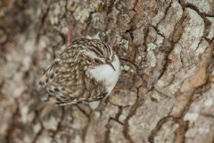It takes a trained eye to spot a Brown Creeper.