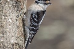 Woodpeckers can be a problem for some sugarmakers, poking holes in mainlines.  They seem to leave us alone, and many species can be found in our forests.