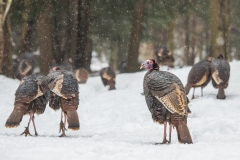 Wild Turkeys are with us all winter long.  They roost in the tree tops and scratch the forest floor looking for food.