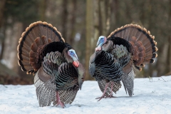 In the springtime we see the Tom's in displaying mating plumage.  Just beautiful.